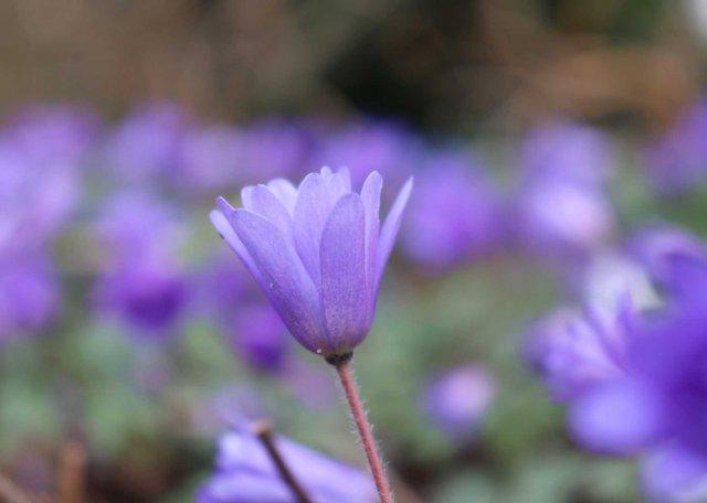 anemone-blanda